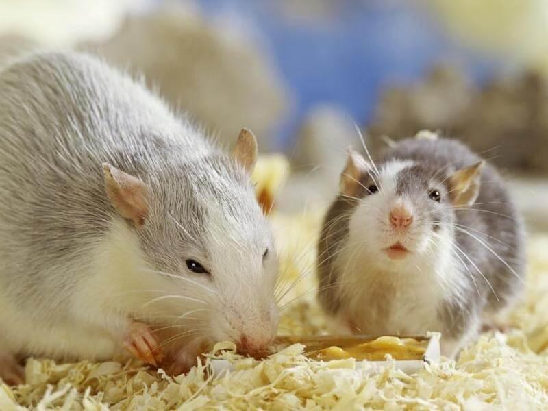 ارخص شركة مكافحة الفئران بالرياض