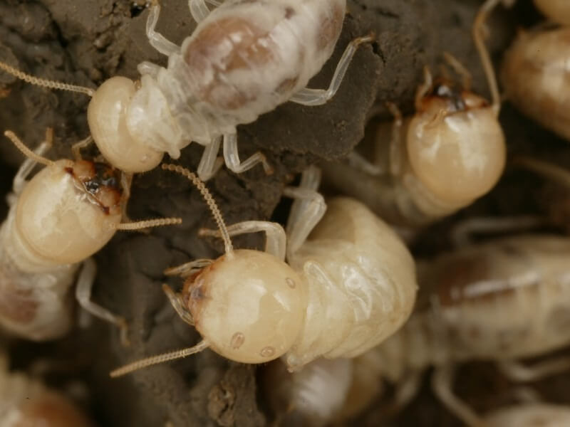 شركة مكافحة النمل الابيض بالطائف بأعلى جودة