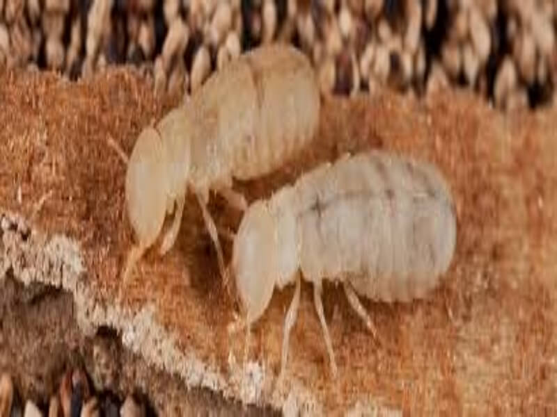 مكافحة النمل الأبيض قبل البناء نهائيا