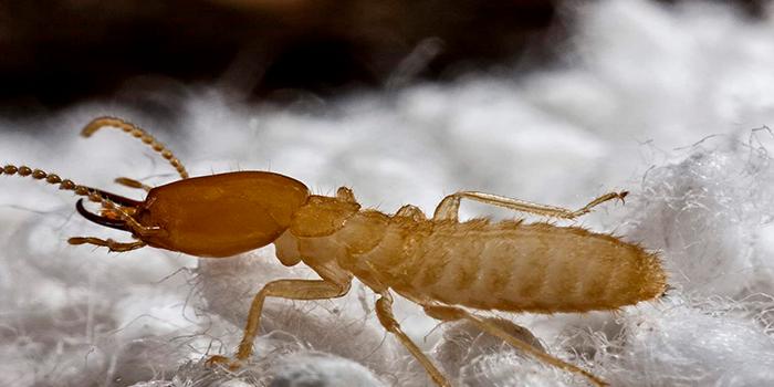 علامات وجود النمل الأبيض